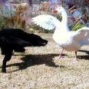 Fuente Imagen: Mi Cuchi-cuchi peleando con un ganso